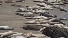 View of large colony of Elephant seals near San Simeon California Stock Footage