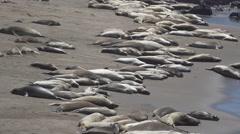 Hundreds of Elephant seals near San Simeon California - stock footage