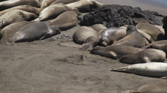 Over a dozen Elephant seals near San Simeon California Stock Footage