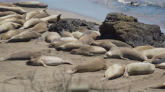 View of enormous colony of Elephant seals near San Simeon California Stock Footage