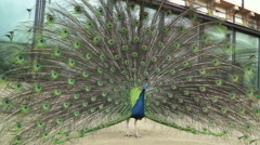 A Pavo Cristatus peacock male spreads its colorful big tail and then dances. Stock Footage