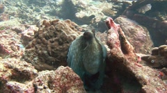 An octopus quickly changes color, shape and the structure of his own body. - stock footage