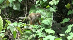 Squirrel Monkey in a tree Stock Footage