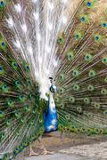 peacock in the park - stock photo