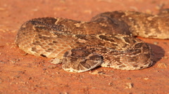Puff adder snake in defensive position, southern Africa Stock Footage