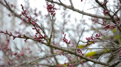 Budded early spring tree with red buds Stock Footage
