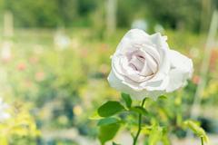 A bunch of roses in the garden Stock Photos