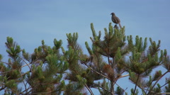 A grey bird sings from a branch, then flies away Stock Footage