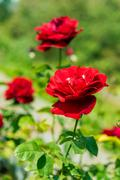 A bunch of roses in the garden Stock Photos