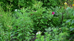 Sprinkler waters plants in a garden. 60fps - stock footage