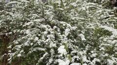 Spiraea Arguta – bridal wreath Stock Footage