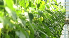 Green peppers in the greenhouse. Stock Footage