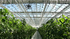 Ventilation in the greenhouse.Growing green peppers. - stock footage