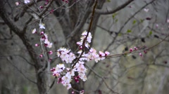 Eastern Redbud flowering in early spring Stock Footage