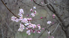 Eastern Redbud flowering in early spring - stock footage