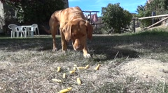 Red dog eating macaroni thrown by his owner in green grass backyard Stock Footage