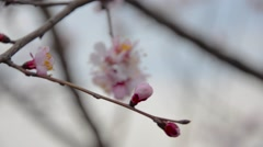 Early spring cherry blossom with soft pastel blue bokeh background. Stock Footage