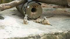 Family of Cute Meerkats Playing at the Zoo. FullHD 1080p footage Stock Footage