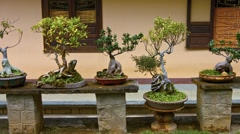 Assortment of Bonsai Trees Displayed in a Vietnamese Garden - stock footage