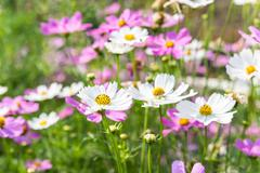 Cosmos flowers blooming in the garden Stock Photos