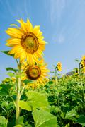 Blooming flower of sunflower field in agriculture farm Stock Photos