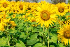 blooming flower of sunflower field in agriculture farm - stock photo