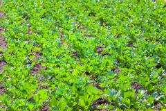 A field of celery plants, tidy ordered in squares Stock Photos