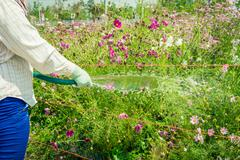 Workers were watering Cosmos flowers blooming in the garden Stock Photos