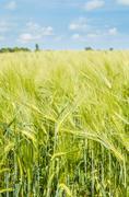 Young wheat on farm land Kuvituskuvat