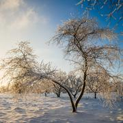 Apple trees covered with hoarfrost against the blue sky - stock photo