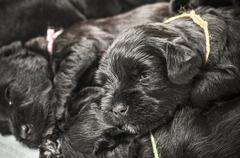 Small group puppy breed Miniature Schnauzer Stock Photos