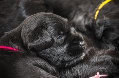 Small group puppy breed Miniature Schnauzer - stock photo