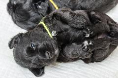 Small puppy breed Miniature Schnauzer - stock photo