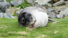 Young Elephant seal Stock Footage