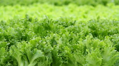 Growing lettuce in the greenhouse .Vertical panorama. - stock footage
