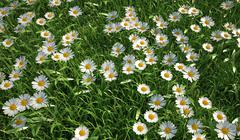 Bird eye view of a grass meadow,  plenty of daisy flowers. Stock Illustration