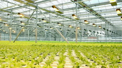 Lettuce in the greenhouse.Horizontal panorama. - stock footage