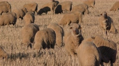 Sheep Herd Grazing in Stubble Field in Australia Stock Footage