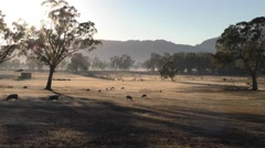 Beautiful Australia Landscape Scene with Sheep Grazing in Field at Dawn Stock Footage