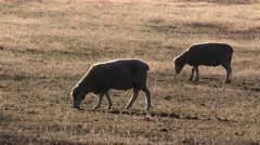 Domestic Sheep Grazing in Australia Rangeland Stock Footage
