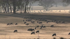 Beautiful Pastoral Scene of Large Herd of Sheep Peacefully Grazing Stock Footage