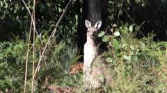 Eastern Grey Kangaroo in Dense Eucalyptus Forest at Grampians National Park Stock Footage