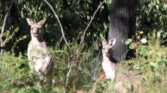 Eastern Grey ie Gray Kangaroo Male and Female in Eucalyptus Forest Stock Footage