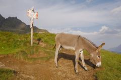 Grazing Donkey on an alpine field Stock Photos