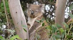 Wild Koala in Eucalyptus Tree Looking at Camera in Australia Stock Footage