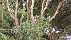 Wild Koala in Crotch of Eucalyptus Tree in Australia Stock Footage