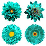 Set of 4 in 1 surreal turquoise flowers: chrysanthemum, gerbera and dahila fl - stock photo