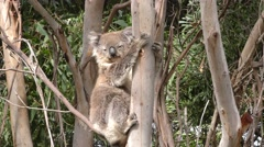 Koala Bear on Eucalyptus Tree in Wild Zoom Out to Forest Stock Footage