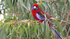 Colorful Red Crimson Rosella Parrot Bird in Tree in Australia Stock Footage