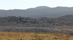 Cape mountain zebra walking across a grass plain wide angle shot Stock Footage